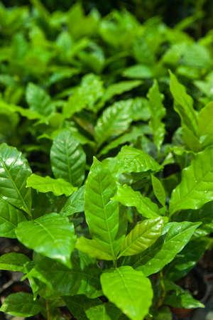 planta de cafe: planta de café