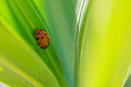 Ladybug on a bright green leaf. photo
