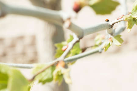 lady bug: A tree is blooming in the springtime with a lady bug crawling on its branch.