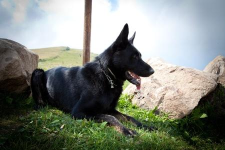 Black German Shepherd - Italian Alps Stock Photo - 12896222