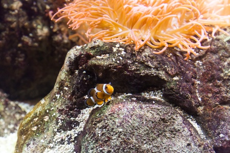 Clownfish in Aquarium - Genoa, Italy Stock Photo - 15584280