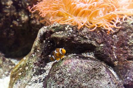 percula: Clownfish in Aquarium - Genoa, Italy Stock Photo