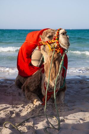 Camel sitting over sea background - Djerba Tunisia photo