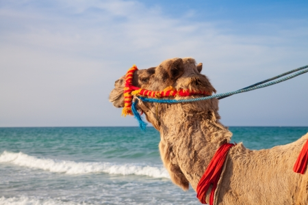 Camels portrait with sea background - Djerba Tunisia