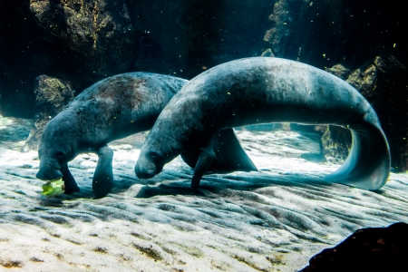 Two Manatee - Sea Cows - Genoa Acquarium, Italy