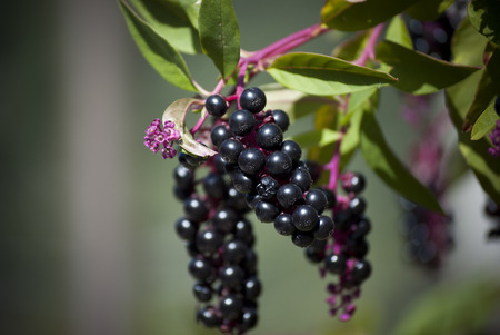 Blackcurrant branches