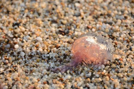 Jellyfish lying dead on the sand, dragged by the waves 写真素材