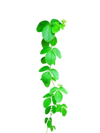 The isolate ivy with white background 版權商用圖片