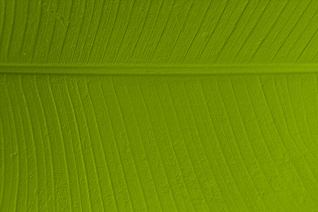 The texture of banana leaf abstract background with sketch effect