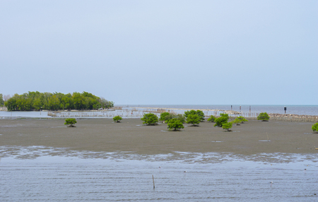 The view of mangrove sea with some of mangrove trees and branch for coastal erosion protection,also has some egret birds hunting fishes Stock fotó