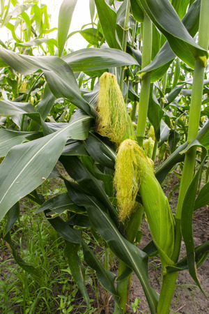 fresh corn on stalk in field