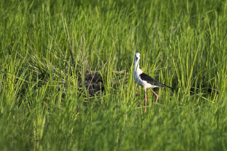 Black-winged Stilt(Himantopus himantopus ) in rice field Reklamní fotografie