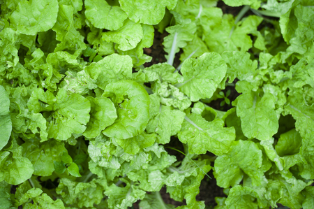 lettuce disease top view eye