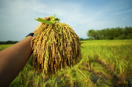 hand touching rice in a paddy field