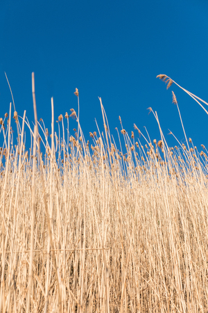 Yellow reeds against a blue sky