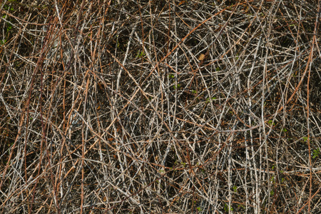 Dry stems of plants with thorns. In winter.