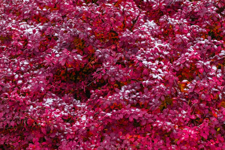 Snow on the beautiful red plant close-up view.