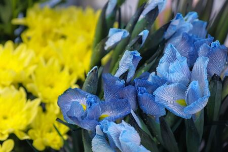 Floral business concept. Blue flowers iris with water drops in flower shop for sale on yellow astras background, closeup view. Moisturizing fresh flowers for long-term storage. Floristry studio store.
