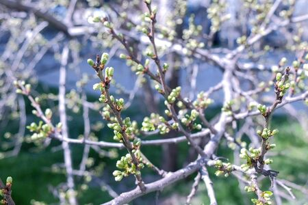 Spring tree twig awaking leaves from buds, closeup view.