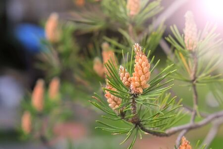 Small young cones looks like amazing flowers on pine tree branches, closeup. Growing beautiful pine cones among pine needles. Trees on wild nature, pines life cycle morphology.