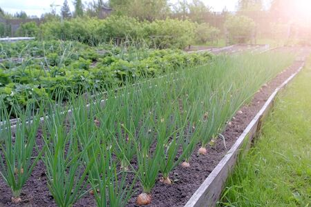 Beds of growing onions and strawberries in farm, gardening and farming concept. Farm homestead with agricultural landings. Plants of berries and vegetables in garden. Stok Fotoğraf