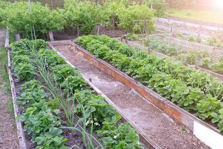 Farm homestead with garden beds landings onion, strawberry and berries bushes. Plants of vegetables and berries growing in open ground. Gardening and farming concept.