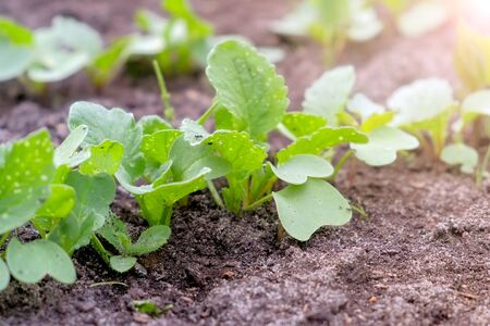 Baby radish growing on farm in open ground, farming and gardening concept. Agrobusiness and farming concept. Agricultural business, agriculture industry. Production of organic products. Stok Fotoğraf