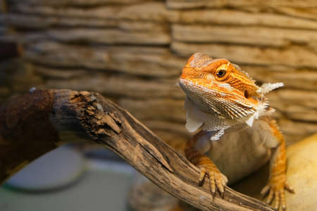 Baby of bearded agama dragon with shedding skin on head and sits on log in his terrarium. Cure exotic domestic animal, pet. The content of the lizard at home. Stok Fotoğraf