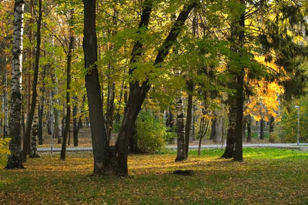 Beautiful view on autumn park with green and yellow leaves and asphalt paths in the city. Falling yellow dry leaves are covering green grass and ground. Birches, mountain ash and pines in the sun. Stok Fotoğraf