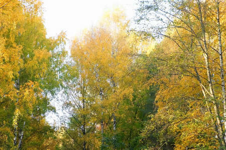 Beautiful huge trees in park. Golden, yellow and orange leaves on branches on tops of trees on blue sky background in autumn season.