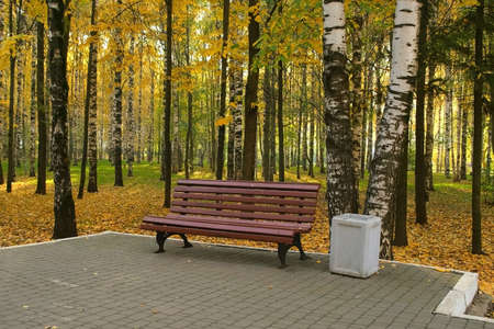 Wooden bench in autumn city park among birches near asphalt path. The trash can is near the bench. Beautiful nature in fall season. All the ground is covering with yellow leaves, foliage. 免版税图像