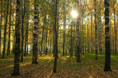 Beautiful view on autumn park with green and yellow leaves in the city. Falling yellow dry leaves are covering green grass and ground. Birches in the sun.
