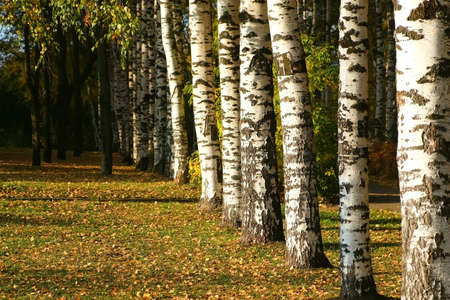 Beautiful view on autumn park with alley of birches green and yellow leaves in the city and asphalt path. Falling yellow dry leaves are covering green grass and ground. Birches in the sun.