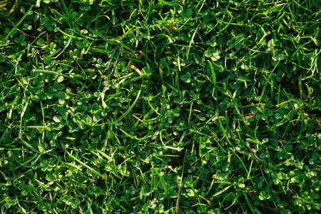 Green background and texture. Natural background of green short grass on field, closeup top view. Farmland and agribusiness. Agricultural industry.