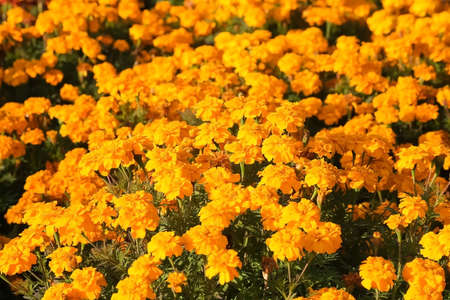 Orange marigold beautiful flowers, closeup view. Background with gardens small flowers. The concept of gardening and plant breeding.