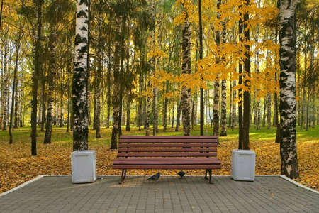 All the ground is covering with yellow leaves, foliage. Wooden bench in autumn city park among birches near asphalt path. The trash can is near the bench. Beautiful nature in fall season. 免版税图像