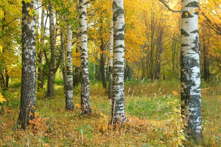 Falling yellow leaves from birches in autumn parks, beautiful view. The concept of changing seasons, the beauty of nature.