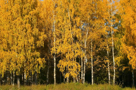 Golden, yellow and orange leaves on birches in forest in autumn season on blue sky background. Amazing trees on fall season. 免版税图像