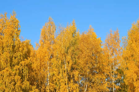 Beautiful huge tree in park. Golden, yellow and orange leaves on branches of birches on blue sky background in autumn season. Amazing trees on fall season.