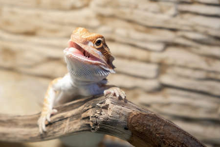 Cute baby of bearded agama dragon is sitting on log in his terrarium with open mouth. Exotic domestic animal, pet. The content of the lizard at home. 스톡 콘텐츠