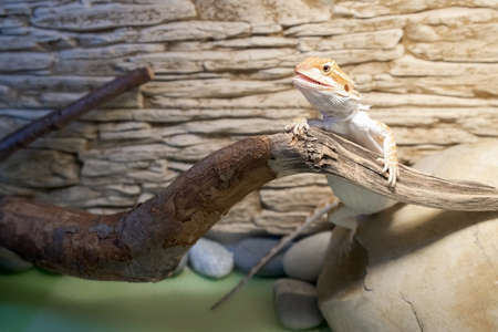 Cute baby of bearded agama dragon is sitting on log basking in the sun in his terrarium with open mouth. Exotic domestic animal, pet. The content of the lizard at home. 스톡 콘텐츠
