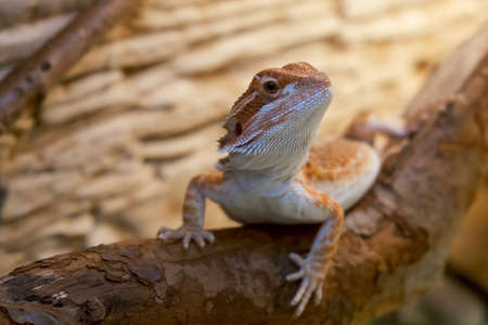 Exotic domestic animal, pet. The content of the lizard at home. Cute baby of bearded agama dragon is sitting on log in his terrarium, closeup. 스톡 콘텐츠