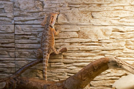 Exotic domestic animal, pet. The content of the lizard at home. Cute baby of bearded agama dragon is hanging on stone wall in his terrarium, closeup.