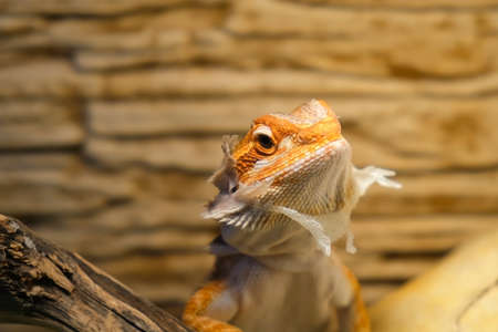 Baby of bearded agama dragon with shedding skin on head and sits on log in his terrarium. Cure exotic domestic animal, pet. The content of the lizard at home. 스톡 콘텐츠
