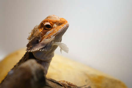 Baby of bearded agama dragon with shedding skin on head and sits on log in his terrarium, side view. Cure exotic domestic animal, pet. The content of the lizard at home.