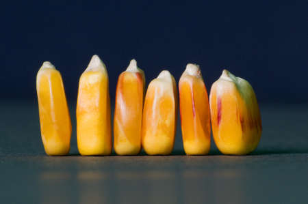 mais: so the same way different. this shot shows a few grains of corn of different sizes.