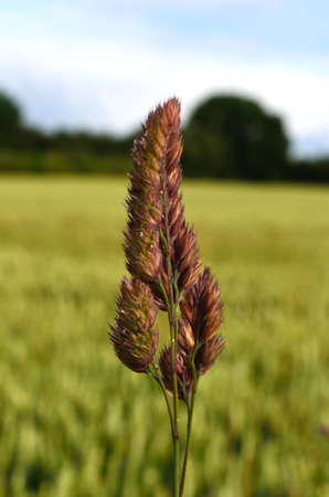 lonley: Lonley grass sheaf in field