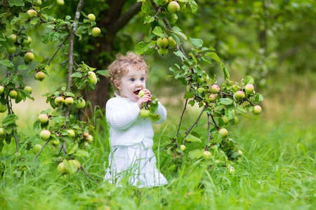 Beautiful laughing baby girl picking apples in an autumn garden wearing a white dress  photo