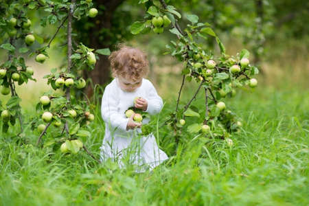 Funny baby girl picking apples in an autumn garden wearing a festive white dress  photo
