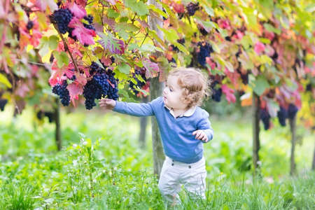 vine country: Cute baby girl eating fresh ripe grapes in a beautiful sunny autumn vine yard